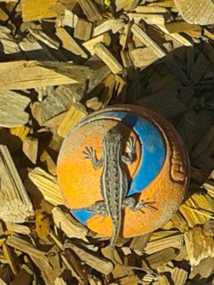 Horny Toad on Koko's Ball by John copy